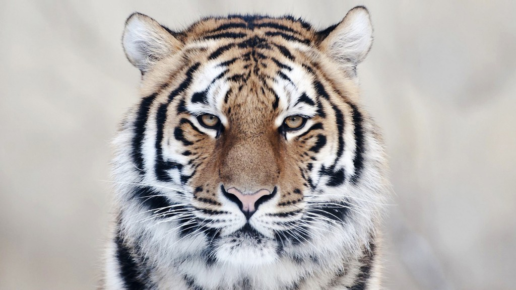 Tiger Close Up Wallpaper