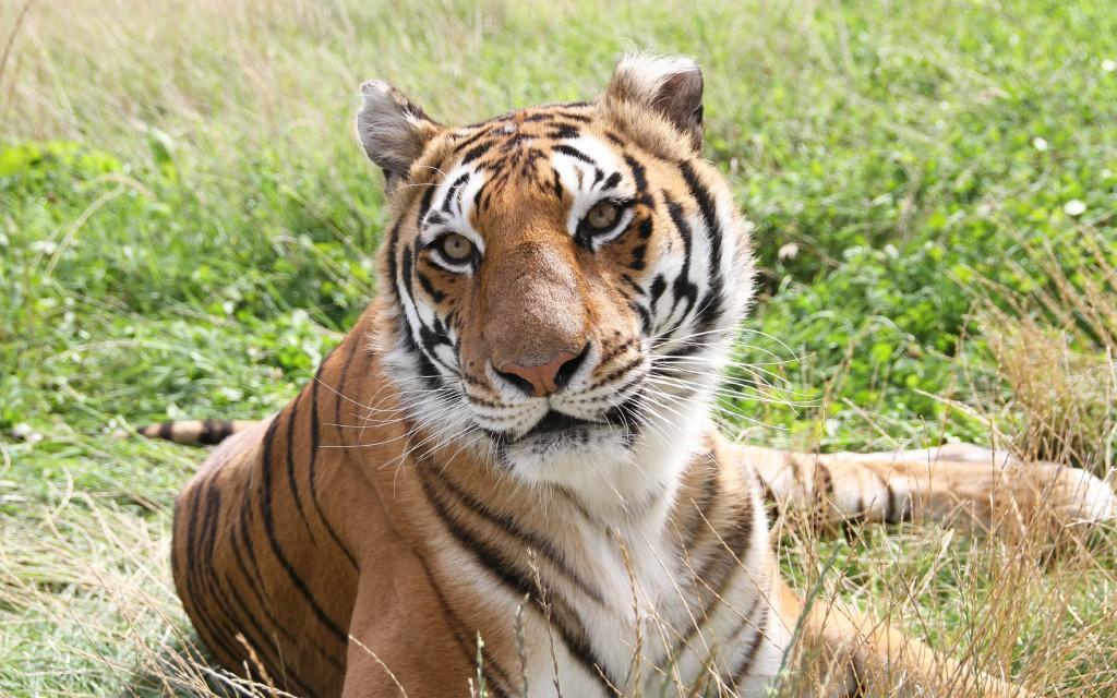 Tiger In Fields Wallpaper
