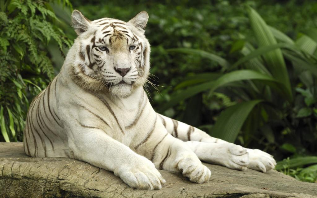 Tiger Panthera Tigris Wallpaper