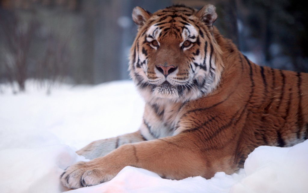 Tiger Snow Wide Wallpaper