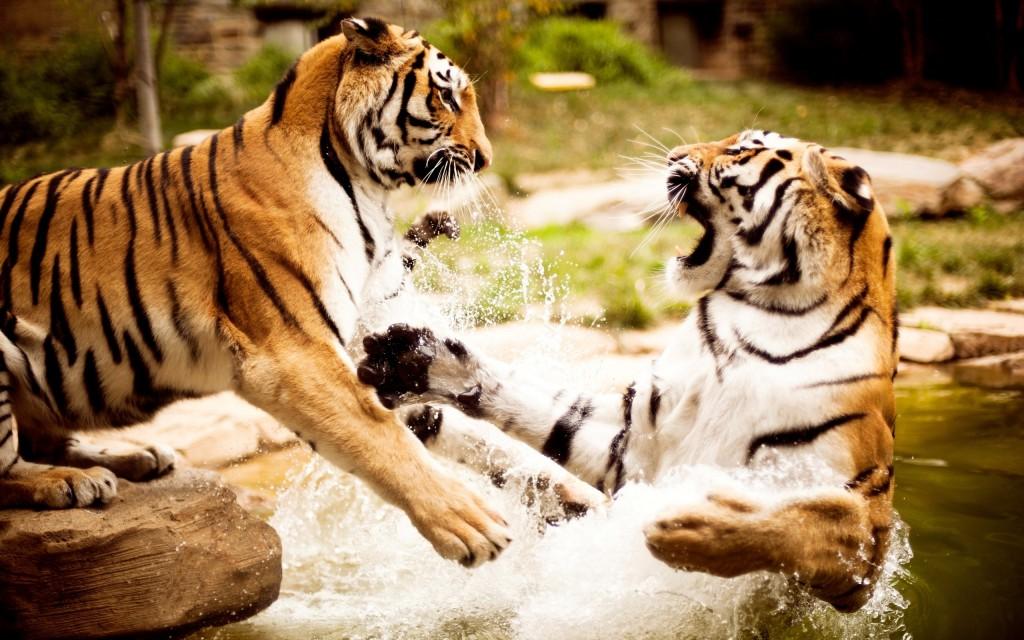 Tigers Playing Wallpaper