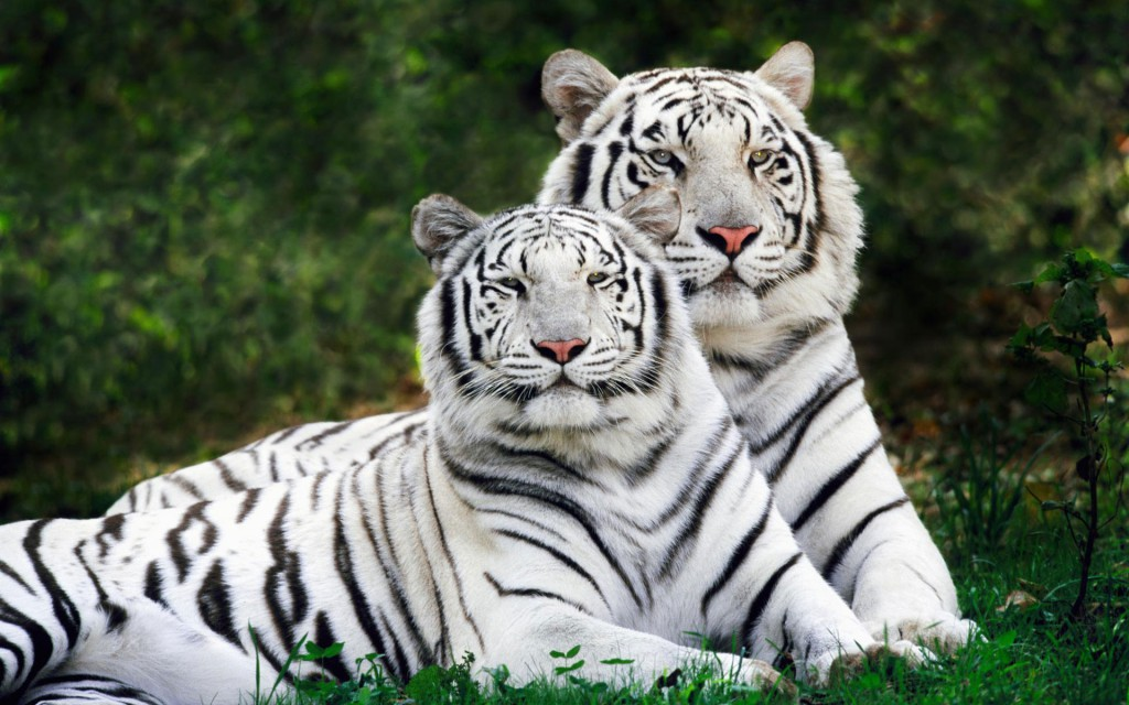 White Bengal Tigers Widescreen Wallpaper
