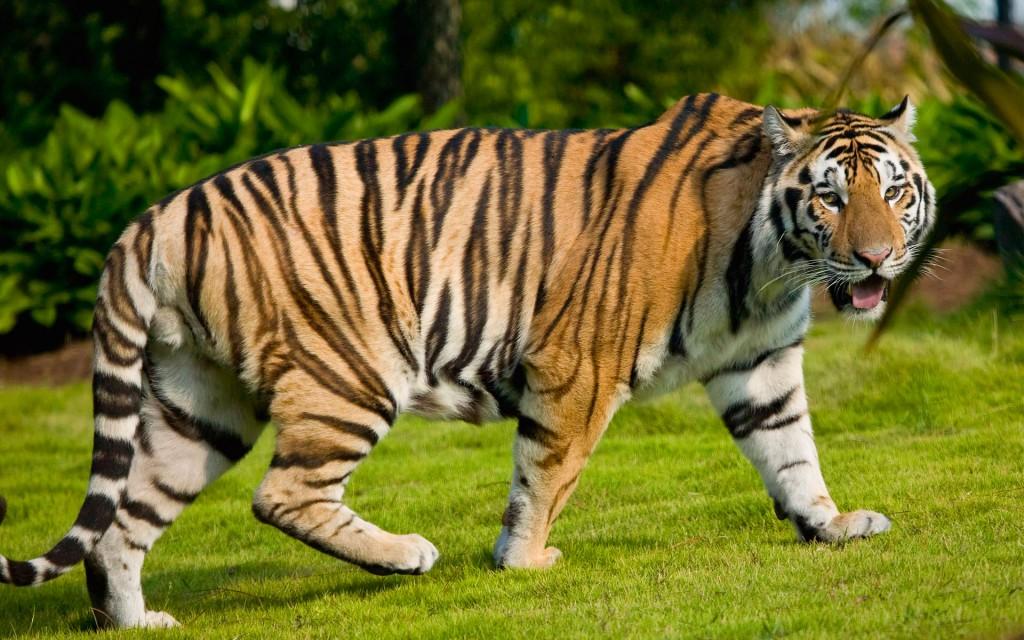 Widescreen Tiger Wallpaper
